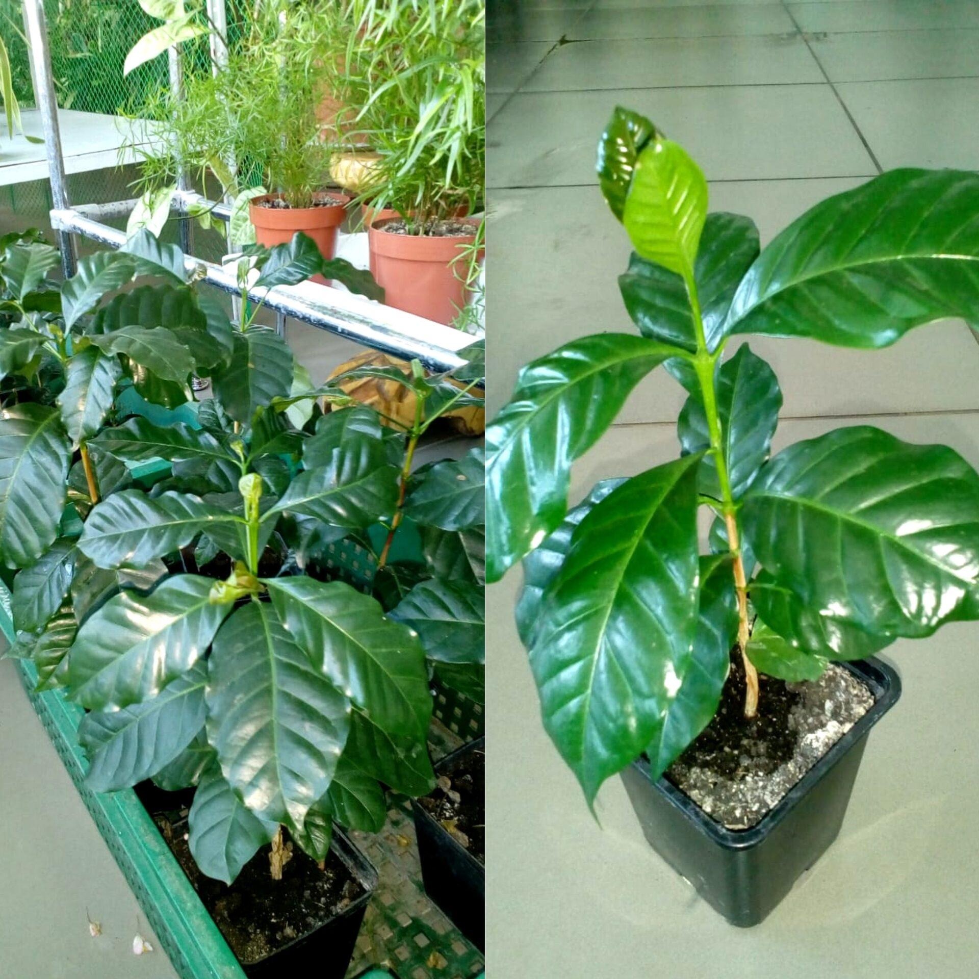 кофейное дерево арабика купить